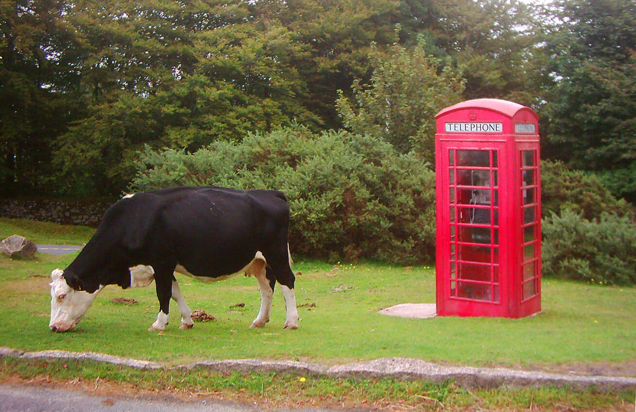 telephone-cow